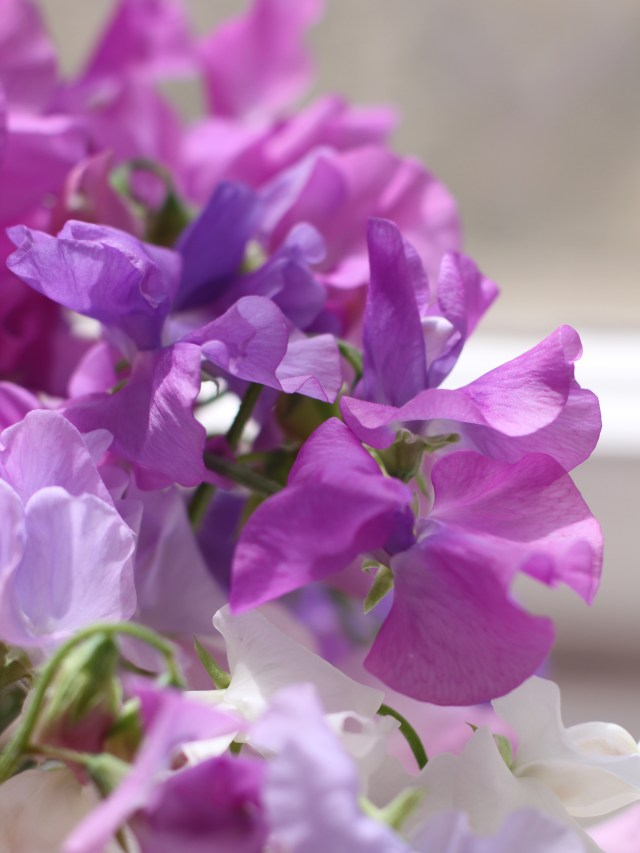 Winter-Sunshine-Sweet-Peas