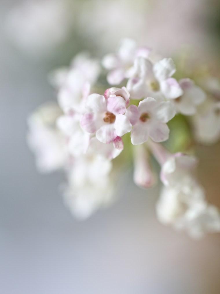 Viburnum-bodnantense-Dawn