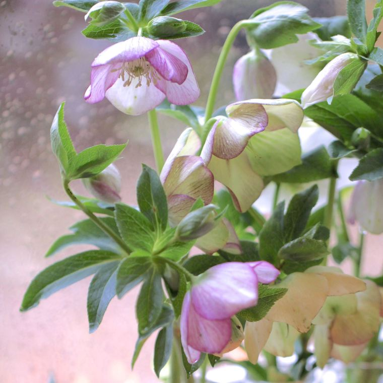 Hellebores arranged in small bottles.