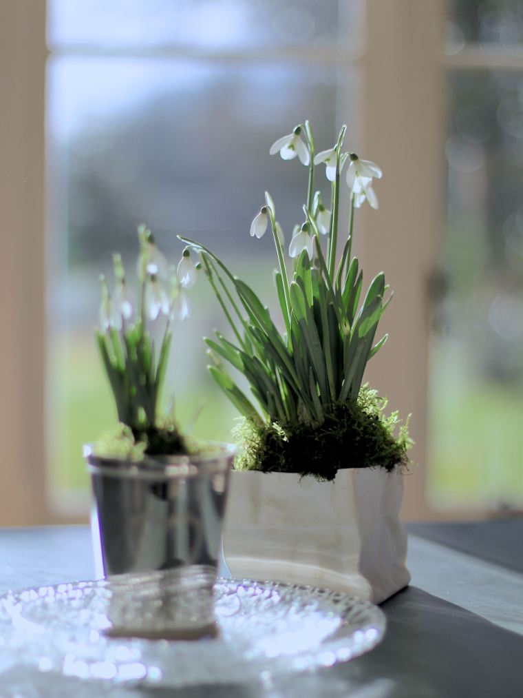 Snowdrops in two vases.