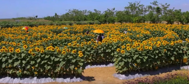 Tayug Sunflower Eco Park