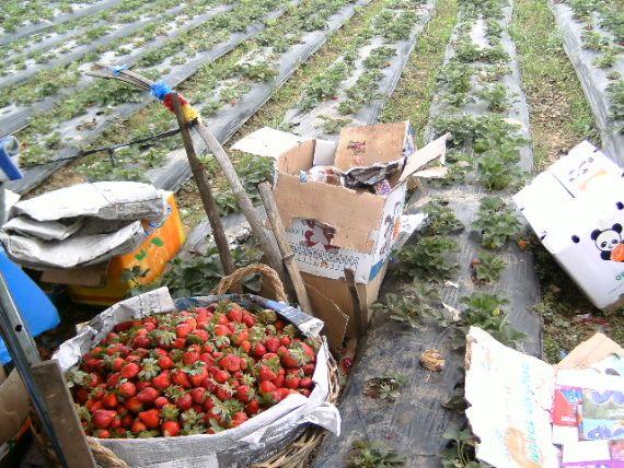 Strawberries in La Trinidad