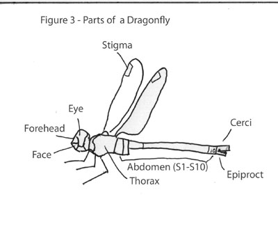 dragonflies eye diagram trailer connector wiring nz dragonfly and damselfly electronic field guide