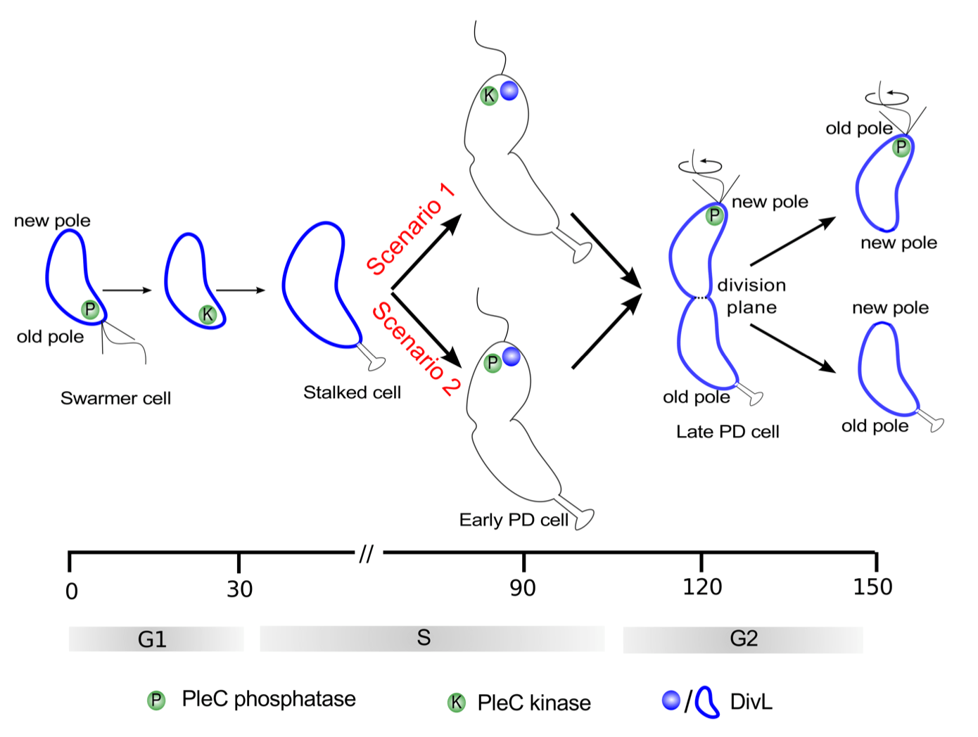 Spatiotemporal Model of the Asymmetric Division Cycle of