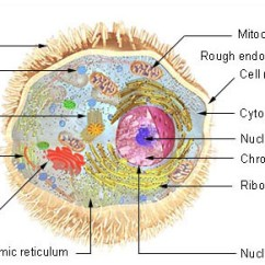 Eukaryotic Endomembrane System Cell Diagram 1983 Ford F150 Ignition Switch Wiring Human Physiology - Structure And Function