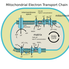 Simple Mitochondria Diagram 6 Way Square Trailer Wiring With Reaction 10 21 Kenmo Lp De Data Rh 16 52 Drk Ov Roden Structure