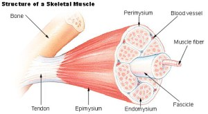 Human Physiology  Muscle
