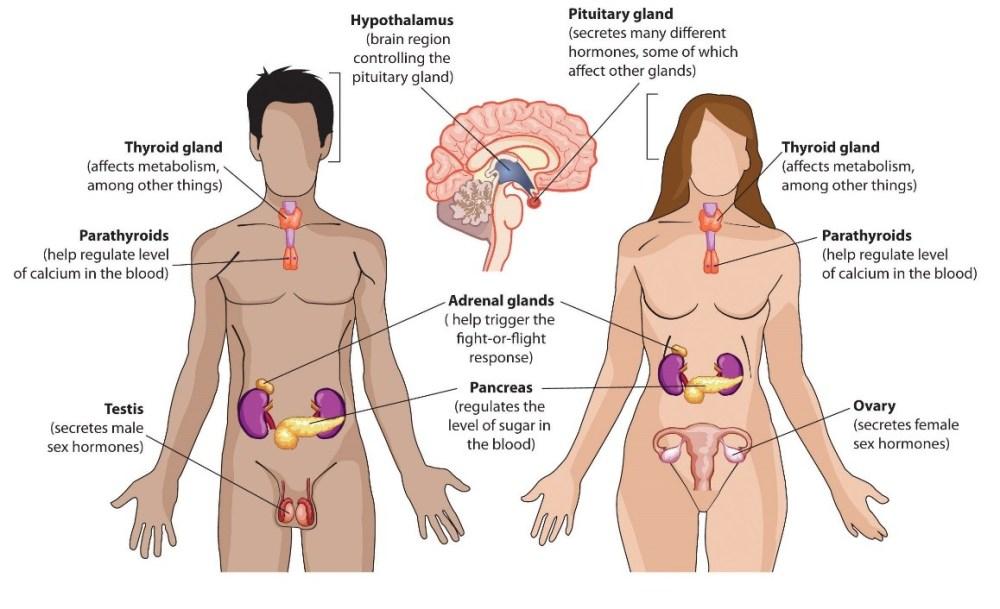 medium resolution of endocrine glands