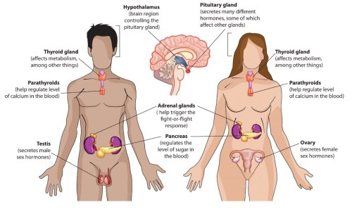 small resolution of endocrine glands