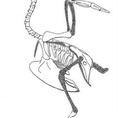 Golden Eagle Skeleton Diagram 1993 Jeep Grand Cherokee Trailer Wiring Avian Circulatory System Drawing Of The Pigeon