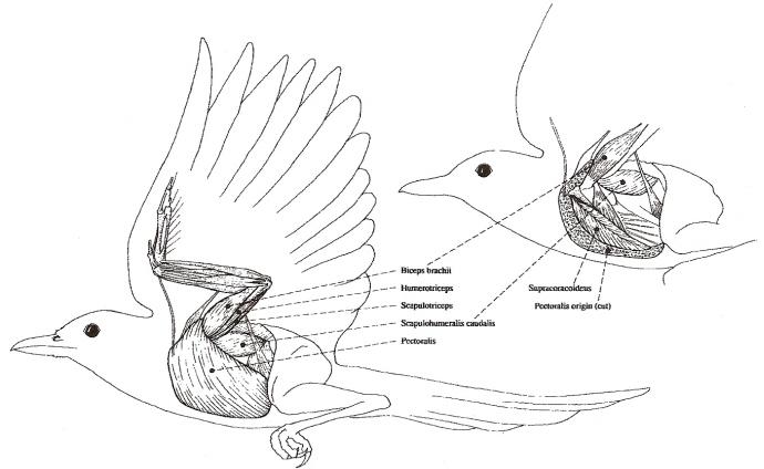 Bird Flight II