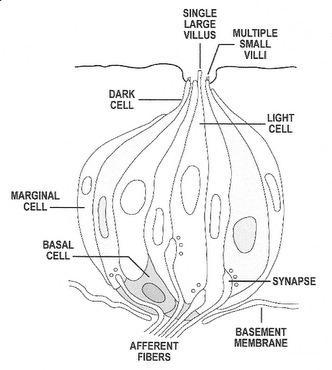 human taste buds diagram pj wiring black and white of free for you avian brain senses rh people eku edu biology on worksheet bud parts