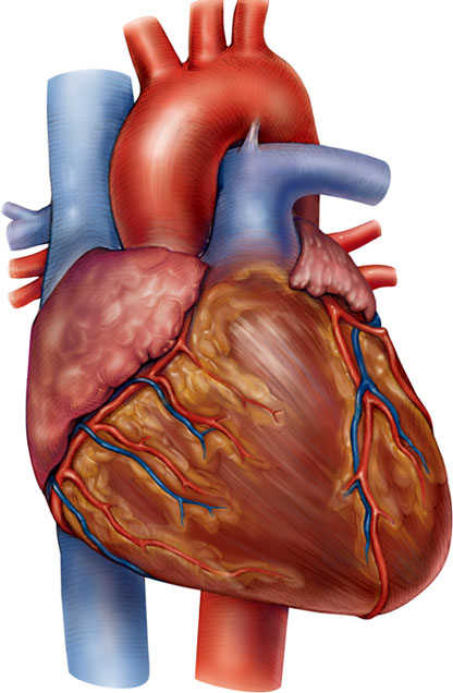 coronary anatomy diagram 1998 toyota camry exhaust system barbeau - human lecture (205)supplements: cardiovascular