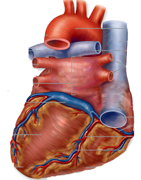 anterior heart diagram unlabeled 12 volt conversion wiring tractor barbeau human anatomy lecture 205 supplements cardiovascular system