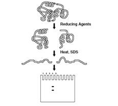 Protein Electrophoresis
