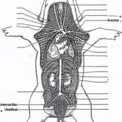 Fetal Pig Nervous System Diagram Ftth Network Dissection Respiratory