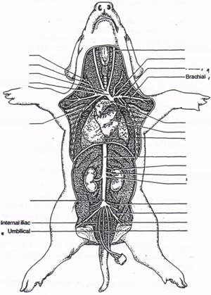 fetal pig nervous system diagram 1948 mg tc wiring dissection respiratory