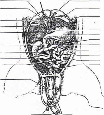 fetal pig thoracic cavity diagram