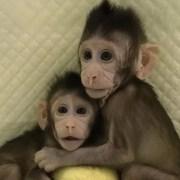 Η πρώτη κλωνοποίηση μαϊμούδων μόλις ανακοινώθηκε – Δέος και αντιδράσεις για το αμφιλεγόμενο επιστημονικό ορόσημο.
