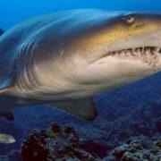 Καρχαρίας Τίγρης: Ένας μικρός κανίβαλος από την κοιλιά της μάνας του