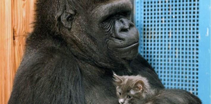 Η ιστορία του πιο έξυπνου και αξιαγάπητου γορίλα στον κόσμο, της Koko