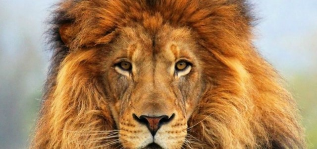 Τα λιοντάρια κινδυνεύουν να εξαφανιστούν… Τους ξεριζώνουν τα δόντια και τα νύχια και τα πουλάνε στην μαύρη αγορά για κοσμήματα