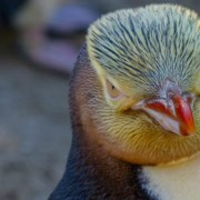 «Πουλί της χρονιάς» στη Νέα Ζηλανδία ο αντικοινωνικός πιγκουίνος Χόιχο που απειλείται με εξαφάνιση