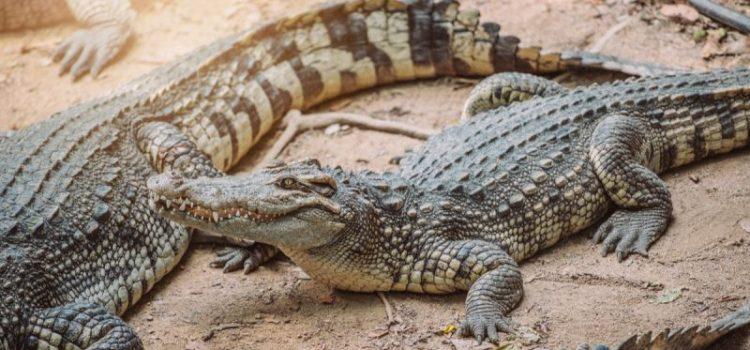 Οι κροκόδειλοι πιθανώς κάποτε περπατούσαν στα δύο πόδια τους, δείχνουν πατημασιές 115 εκατ. ετών