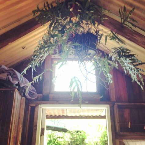 Our fern hanging at the back of the cabin.