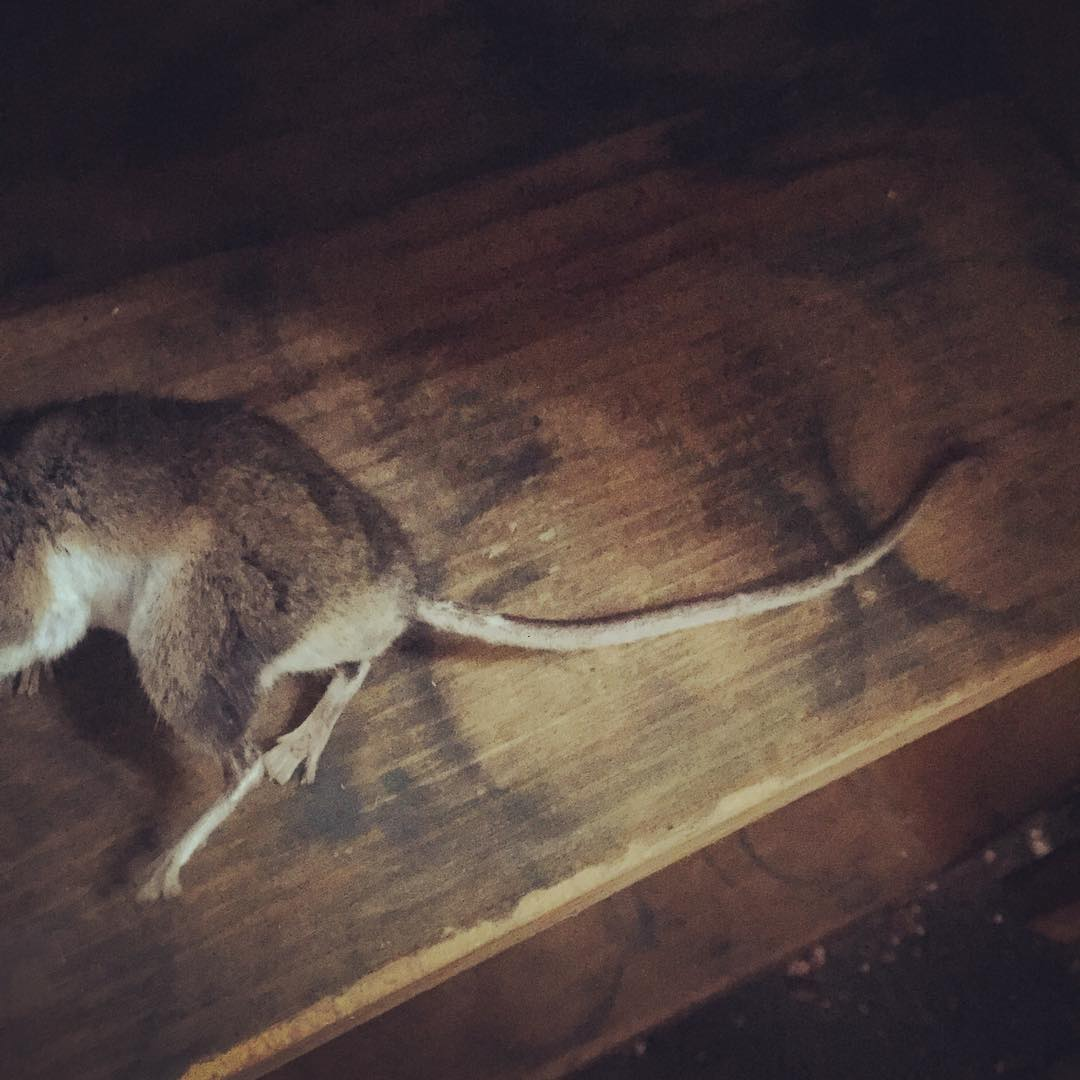 A sad mouse casualty aboard the shantyboat. He may or may not have died of natural causes