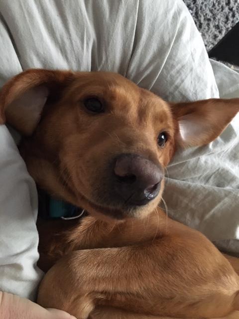 Détection canine des punaises de lit : Pépita a le flaire pour les détecter