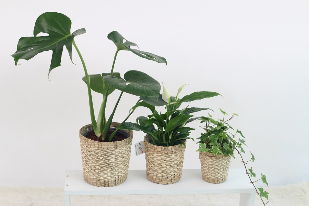 cuidar plantas de interior hojas grandes