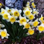 Narcisos en flor