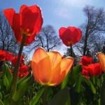 Tulipanes en abril
