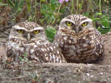 Lachay.Owl-Burrowing pair II