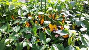 Peper-Trinidad-Perfume-plant-3-300x169