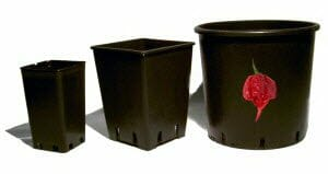 Scegliere il vaso peperoncino piccante
