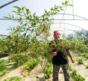 il lavoro dei contadini peperoncin