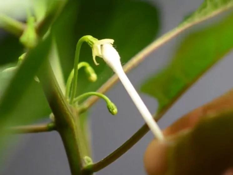 bastoncino di ovatta peperoncino impollinazione