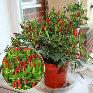 pianta peperoncino tabasco
