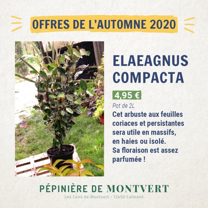 Eleagnus Compacta