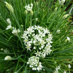 Ciboule // De Chine 'Jiu Cai' (Plant)