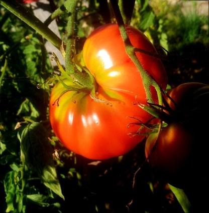 Tomate // Gregori Altaï