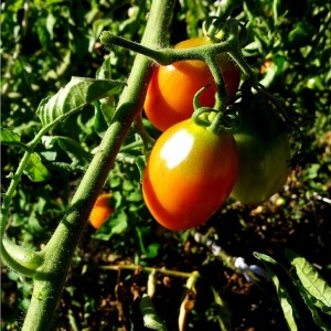 Tomate // Prince de Borghese (Graines)