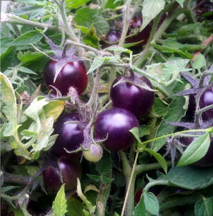 Tomate // Lutins Bleus
