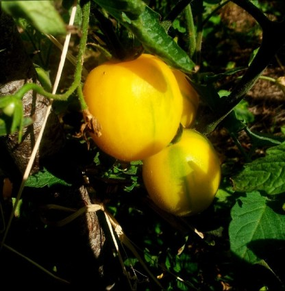 Tomate // pêche jaune