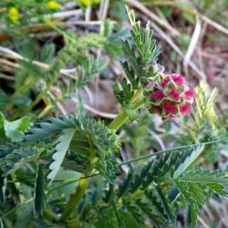 Pimprenelle // Sanguisorbe à fleurs rouges