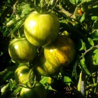 Tomate // Zébrée verte
