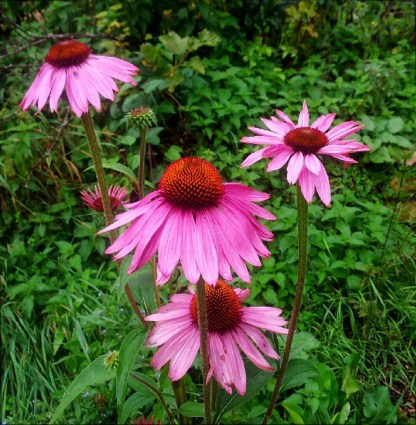 Echinacea // Pourpre