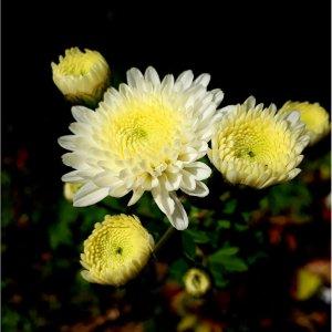 Chrysanthème // Médicinal 'Ju Hua' (plant)